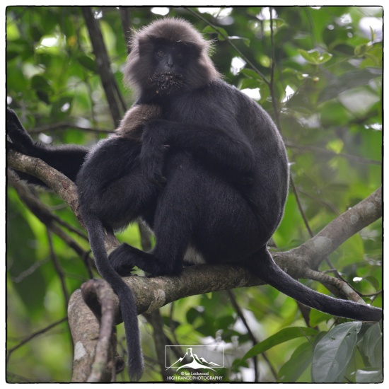 Trachypithecus_johnii_mother_at_Thekkady#3a(LGOG)(06_16).jpg