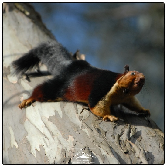 Malabar_Giant_Squirrel#1a(7_09).jpg