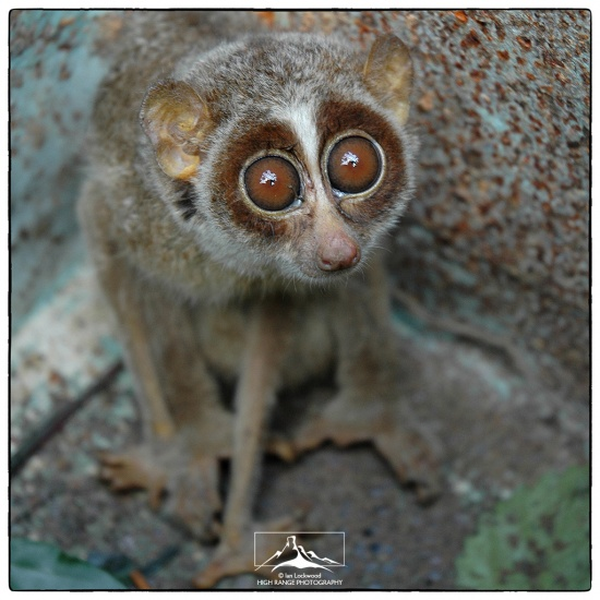 Slender_Loris_At_Sirsi#1(11_04).jpg