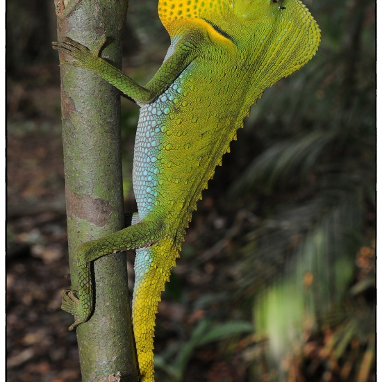 Lyriocephalus_scutatus_(Male)#1a(8_12).jpg