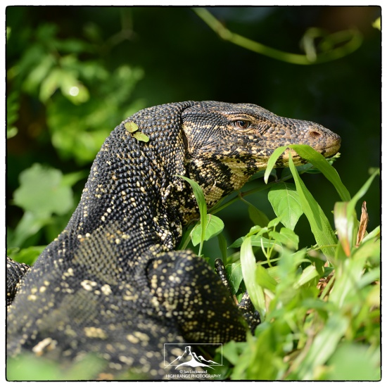 Varanus_salvator_at_Talangama#3a(11_15).jpg