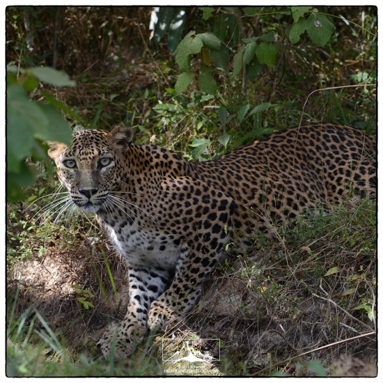 Leopard_at_Wilpattu#1a(07_16).jpg