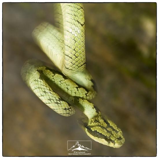 TTrigonocephalusHanging(VerII)AtSinharaja#8b(5_07).jpg