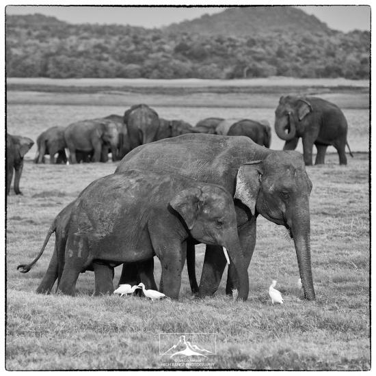 Tusker_in_herd#4(B&W)(0816).jpg