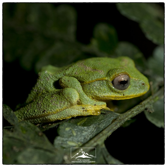 Pseudophilautus_femoralis_male#1a(01_16).jpg