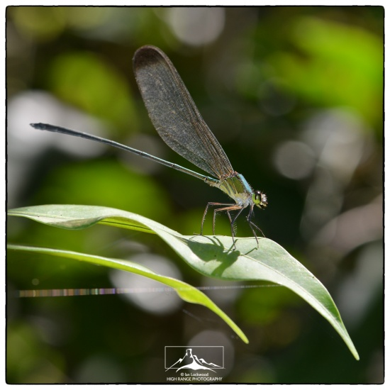 Damsel_fly_at_SNVP#1a(MR)(04_16).jpg